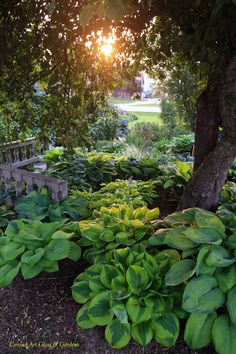Love Hostas - wish I could have them here....