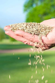 to Overseed or Reseed Your Lawn The secret to a thick full lawn is overseeding.The secret to a thick full lawn is overseeding.