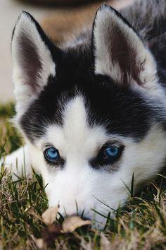 Wonderful All About The Siberian Husky Ideas. Prodigious All About The Siberian Husky Ideas. Husky Eyes, Husky With Blue Eyes, Blue Eyed Husky, Black Husky, Cute Husky Puppies, Puppy Husky, Huskies Puppies, Pomeranian Husky, Husky Mix