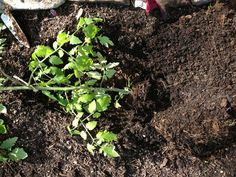 tomato plant in trench in soil.... Plant 1/2 of the tomato seedling laying down in the soil. Forcing the top to come out vertical. Produces bigger tomatoes