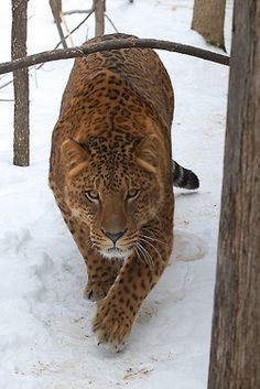 A Jaglion is the offspring between a male jaguar and a female lion..so beautiful.