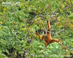 "Eastern Black-crested Gibbon (a/k/a Cao-vit Black Crested Gibbon or  Cao-vit Crested Gibbon (Nomascus nasutus).        [""Cao-vit-crested-gibbon-female-hanging-from-tree.jpg (650×520).""]       Google search:  ""The Eastern Black-crested Gibbon, also known as the Cao-vit Black Crested Gibbon or the Cao-vit Crested Gibbon (Scientific name: Nomascus nasutus), is a species of Gibbon from southeast China & north Vietnam. Wikipedia."""
