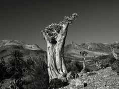 Rose du désert à Erher Beach (Socotra, Yémen) en 2010.