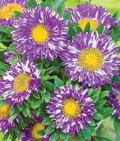 Purple Burst Aster Fall Flowers, Flowers In Hair, Purple Flowers, Flower Seeds, Flower Pots, Flowers Garden, Beautiful Gardens, Beautiful Flowers, Unique Flowers