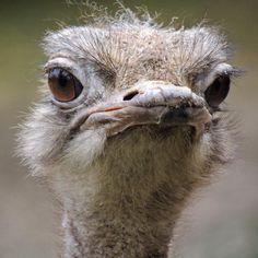 Ostriches by Germ wind