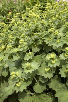 Lady's Mantle - What Should I Know About It?