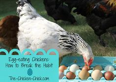 How to break an egg eating chicken.This blog has great tips on how to stop chickens from eating their eggs and many other tips on raising chickens. Great resources!!!!
