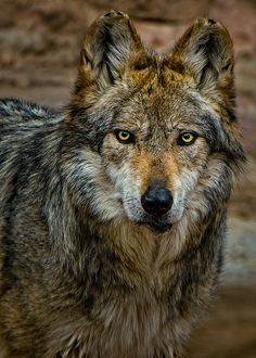 WOLF by Paulo Peres on 500px