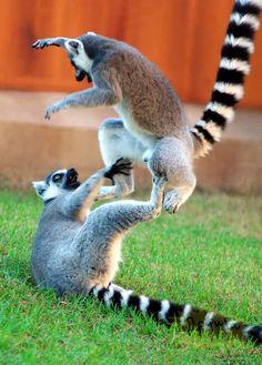 Funny lemurs