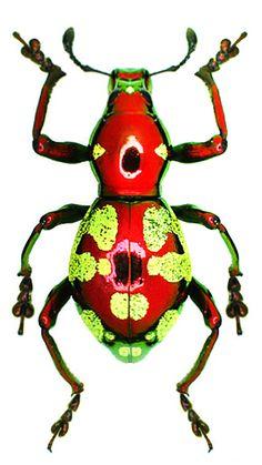 Pachyrrhynchus sp #Beetles
