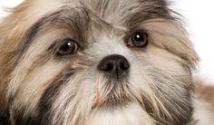¿Puede un perro tener conjuntivitis? ¿Cómo controlarla? http://www.mascotadomestica.com/articulos-sobre-perros/puede-un-perro-tener-conjuntivitis-como-controlarla.html