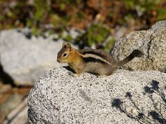 Chipmunk    My little visitor at Lake Tahoe in Emerald Bay