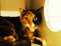 This cat is  at Orange County Animal Services, NC. ADOPTION FEE WAIVED! FREE TO GOOD HOME! Female calico-Lily