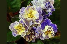 Tea's Blueberry Butterfly, Saintpaulina variety
