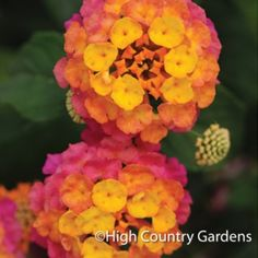 The Lucky Lantana have been bred for compactness and non-stop color in the sun and heat. These little beauties are perfect for beds and containers, and won't overgrow their neighbors. Butterflies and hummingbirds love the brilliantly colored, non-stop flowers.