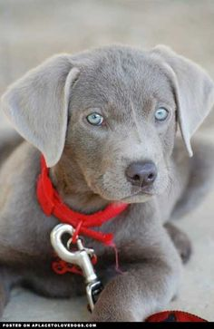 This little guy is on my  Christmas wish list!!! I want him, he is a silver/grey lab! <3