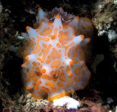 The Sea Slug Forum - Halgerda aurantiomaculata