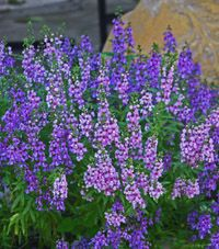 "Angelonia, Summer Snapdragon - Full sun, annual, 12-18"" height.  Blooms summer until frost."
