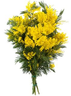 Tube bouquet of mimosa