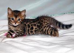 Bengal Cat-I want a Bengal Kitten sooo bad!