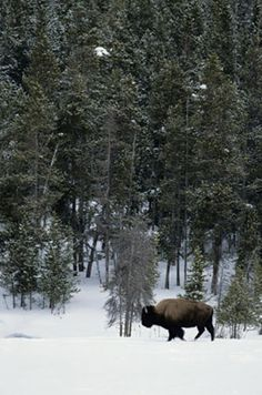 Bison in snow wall mural~ a serene winter landscape.
