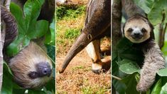 Two-toed sloth, giant anteater, three-toed sloth at Monique Pool's sloth rescue centre in Suriname.
