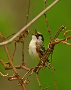Chestnut-sided Warbler #idtiptuesday #leicabirding https://www.facebook.com/notes/leica-birding/id-tip-tuesday-bird-vocalizations/503097556385288
