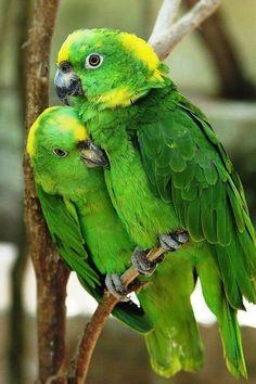 Australian Parrots and Birds - Parrot Pretty Birds, Cute Birds, Beautiful Birds, Animals Beautiful, Tropical Birds, Exotic Birds, Colorful Birds, Green Birds, Exotic Animals