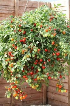 Growing tomato plants from seeds is not that difficult and it is extremely rewarding. Phenomenal Growing Tomatoes from Seeds Ideas. Growing Cherry Tomatoes, Growing Tomato Plants, Growing Tomatoes In Containers, Growing Vegetables, Grow Tomatoes, Organic Vegetables, How To Grow Cherries, Cherry Tomato Plant, Tomato Farming