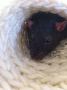 rats <3 knits.