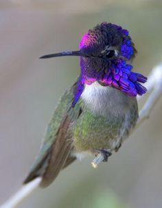 fairy-wren: costa's hummingbird (photo by deep canyon america) Pretty Birds, Love Birds, Beautiful Birds, Animals Beautiful, Cute Animals, Small Birds, Colorful Birds, Little Birds, Bee Hummingbird