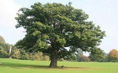 Este es un árbol llamado roble sirio característico de este país