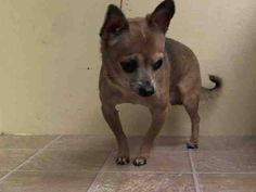 SUPER URGENT 7/7/14 Manhattan Center   PRINCE - A1005792  I am an unaltered male, brown and black Chihuahua - Smooth Coated mix.  The shelter staff think I am about 8 years old.  I weigh 6 pounds.  I was found in NY 10468.  I have been at the shelter since Jul 07, 2014. https://www.facebook.com/photo.php?fbid=833403070005907set=a.617942388218644.1073741870.152876678058553type=3theater