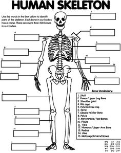 Label the parts of a Human Skeleton. (done)