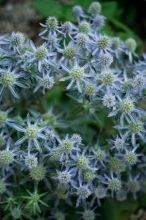 Eryngium, Blue silvery color that looks like it has small raspberry type flowers