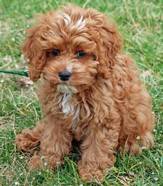 A cockapoo... how could you not love this face?