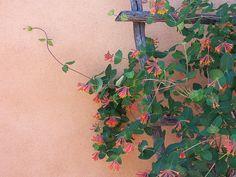 Coral Honeysuckle vine ( fav for hummingbirds)