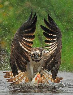 """Out You Come"" - Osprey with fish."