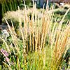 'Karl Foerster' Feather Reedgrass  This ornamental grass has become a garden favorite for its great performance and stiff, upright habit. 'Karl Foerster' is ideal for creating a low screen or hedge, and giving a soothing backdrop for more colorful perennials.  Name: Calamagrostis 'Karl Foerster'  Size: To 6 feet tall and 2 feet wide  Zones: 5-9