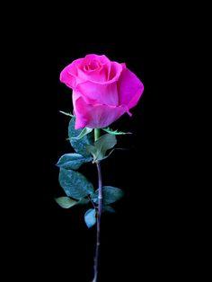 Rosa de Color Calidad STD. (25 tallos) $220  Estos Precios están sujetos a cambios y disponibilidad del Producto.