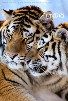 Tiger love (by Nathalie Voisine on . (KO) Love and snugglies, tiger style. Animals And Pets, Baby Animals, Funny Animals, Cute Animals, Wild Animals, Pretty Cats, Beautiful Cats, Animals Beautiful, Tiger Pictures