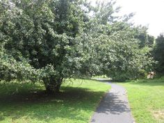 apple tree and a path