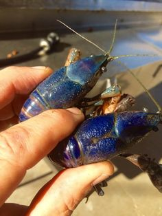Two Blue Crawfish! Supposed to be good luck, it is a sign for good luck in the catch and harvest for that season. Crawfish Season, Harvest, Sign, Seasons, Adventure, Blue, Animals, Animales, Animaux