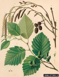 Alnus incana Gråal gray alder, Alnus incana  (Fagales: Betulaceae) - 1379013