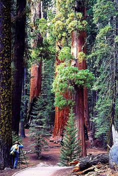 Sequoia National Park, CA ~ famous for it's giant sequoia trees