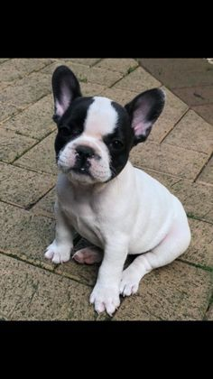 **UPDATE** Pups have now had :- vaccination paid for by my vets *microchip *health check *flea and worm treatment Beautiful French bulldog p Southampton, Fleas, Animals And Pets, French Bulldog, Pup, Health, Check, Dogs, Beautiful