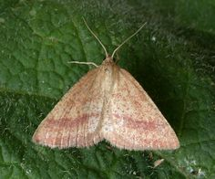 The Moths of Suffolk - 1664 Rest Harrow, Aplasta ononaria, (Fuessly, Tapestries, Moth, Butterflies, Rest, British, Beauty, Hanging Tapestry, Tapestry, Butterfly