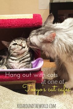 Cuddle Cats At A Cat Cafe In Tokyo