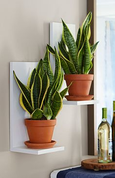 Staggered-height plant shelves can be used individually, in pairs, or to create a wall of plants.