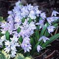 Scilla - mischtschenkoana - 5/3.65 ordered - (tubergeniana) large, light blue to white with dark blue midrib outside; very persistent and lovely; early flowering; 1931; (8+cm).  Starry flowers that droop like bells on spikes with strap-like leaves; colors range in blues, whites, pinks and violets; heights and bloom times also cover a wide range; one of the most shade tolerant bulbs; most are hardy in zones 4-8; early spring blooming; Heirloom bulbs.  front 5 5x middle by brunnera, 3/23/14